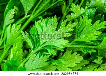 organic fresh bunch of parsley with drops closeup, background - stock photo