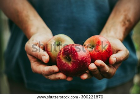 Organic fruit and vegetables. Farmers hands with freshly harvested apples. - stock photo