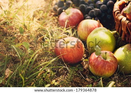 Organic fruit in basket in summer grass. Fresh grapes, pears and apples  in nature - stock photo