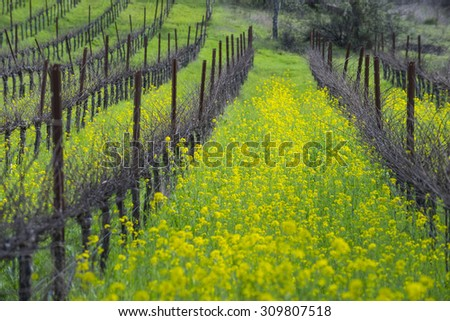 Organic grape vineyard in California wine country, with springtime cover crop of yellow mustard. - stock photo