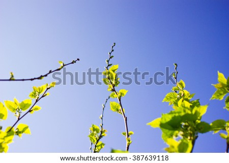Organic green Mulberry branch against with blue sky - stock photo