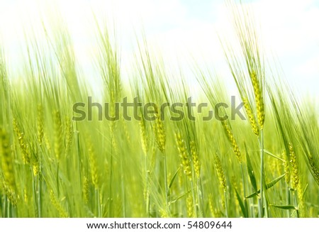 Organic Green spring grains for background