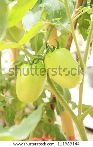 Organic Green tomatoes on the vine