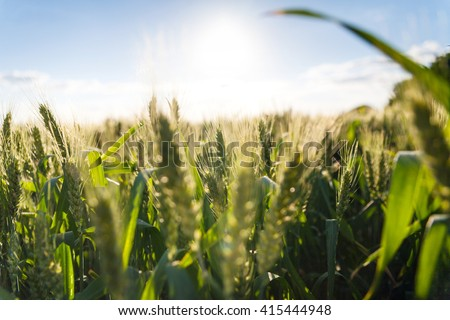 Organic green wheat field and sunny day. Green wheat head in cultivated agricultural field. Early stage of farming plant development. - stock photo