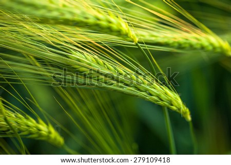 Organic green wheat. Macro image. - stock photo