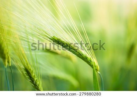 Organic green wheat. Macro image. - stock photo