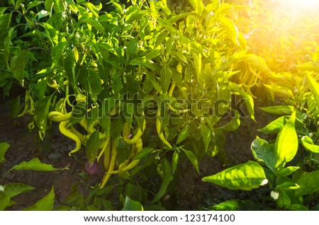 organic homegrown peppers in sunrise light - stock photo