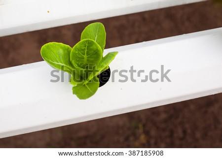 Organic hydroponic Butter head Lettuce farm. - stock photo
