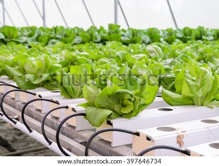 how to grow lettuce in aquaponics