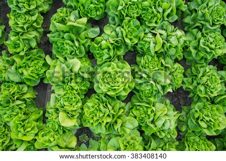 Organic hydroponic vegetable cultivation farm. lettuce crops growing - stock photo