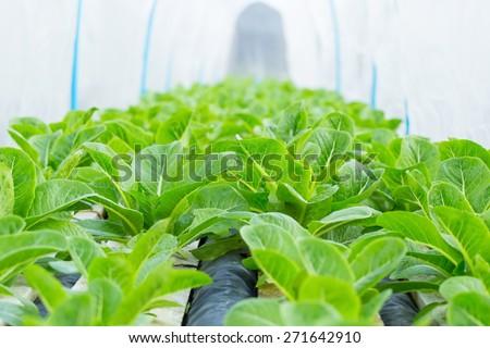 Organic hydroponic vegetable garden open farm - stock photo
