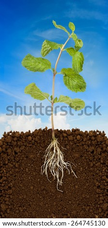 Organic Mint Herb  and blue sky - stock photo
