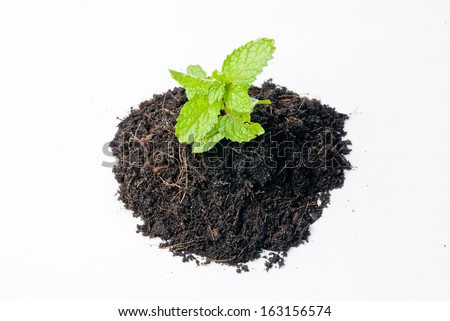 Organic Mint Herb Isolated
