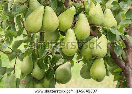 Organic pears on tree branch