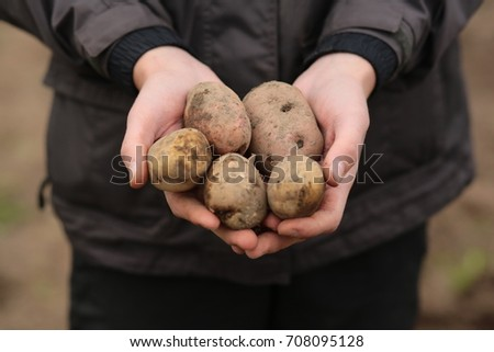 Organic potatoes in the hands of the farmer