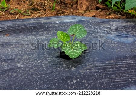 Organic Pumpkin Plant in Field. - stock photo