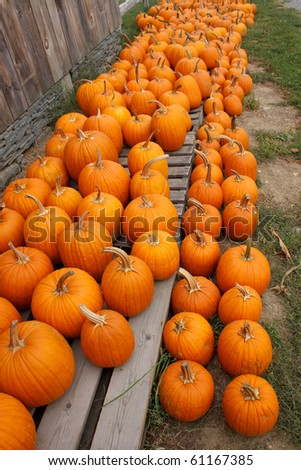 organic pumpkins at a farm ready for sale - stock photo