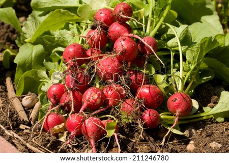 Organic radishes from the garden - stock photo