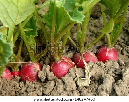 organic radishes growing on the vegetable bed - stock photo