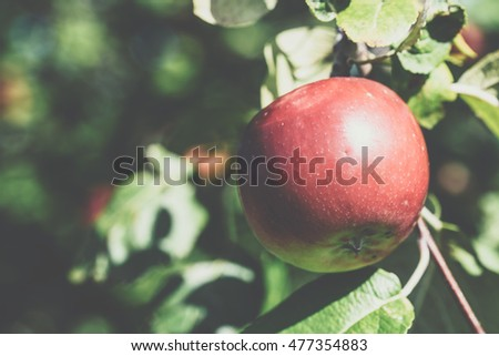 Organic red apple on branch, green leaf background.Fruit on orchard ready for picking. Single bright red apple on a apple tree on a sunny day. Green foliage of the tree. Closeup. Toned.Place for text.