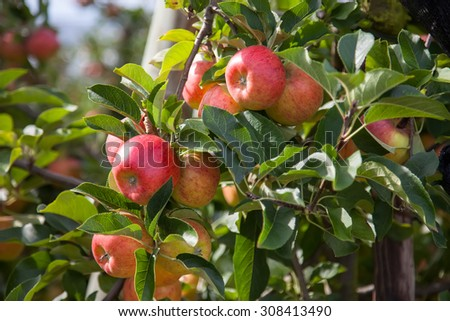 Organic red apples hanging on a tree branch