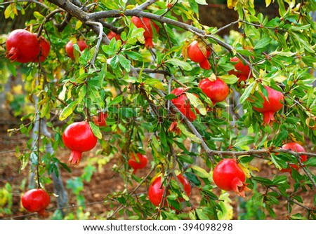 Organic red pomegranate in Croatia - stock photo