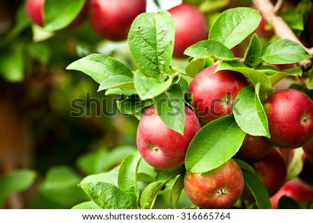 Organic red ripe apples on the orchard tree with green leaves closeup - stock photo