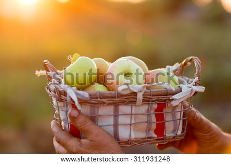 Organic Ripe Apples in a Basket. Farmer hands basket with apples - stock photo