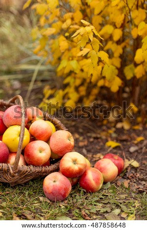Organic ripe fruit in basket in autumn garden. Fresh harvest of apples. Nature fruit concept.