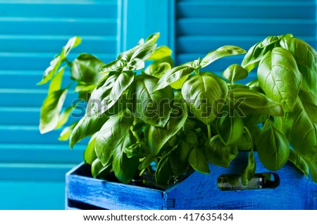 Organic  seedling  of green basil. Selective focus.