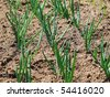 Organic spring onion in the field - stock photo