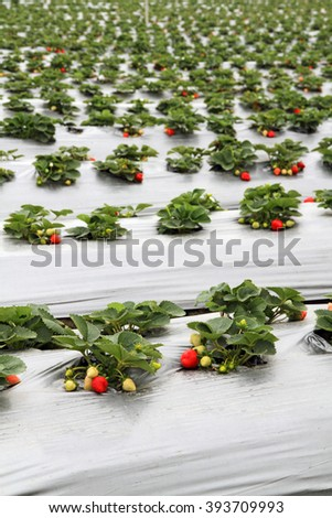 Organic strawberry farm