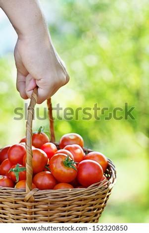 Organic tomatoes in basket. Vegetable garden. Gardener in harvest - stock photo