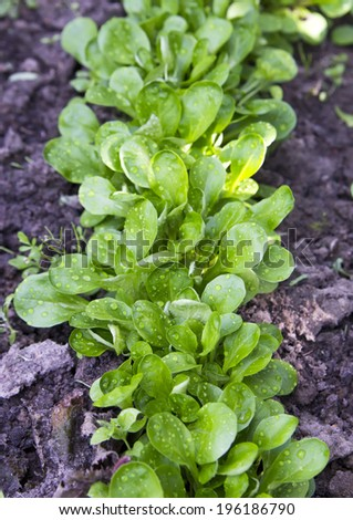lambs lettuce stock  images pictures shutterstock