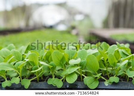 Organic Vegetable Plants, Garden Ready Vegetable Plants In Farm.