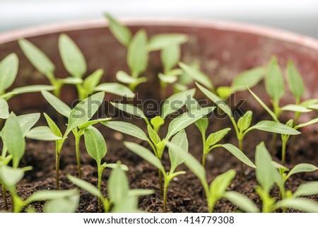 Organic vegetable seedlings - stock photo