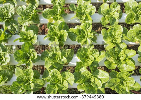 Organic vegetables hydro phonic Plantation are grown on the mountains. - stock photo
