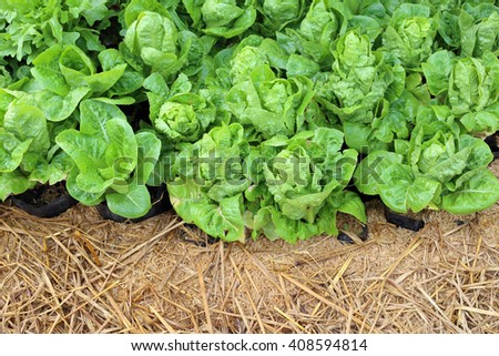 Organic vegetables in the garden. - stock photo