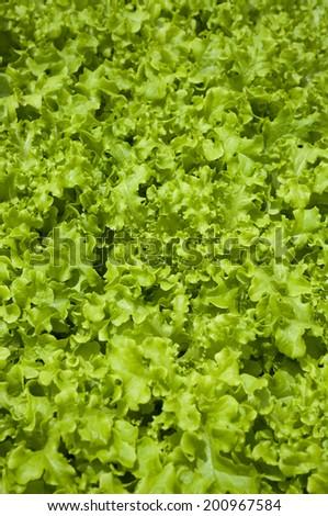 Organic vegetables, Lettuce - stock photo