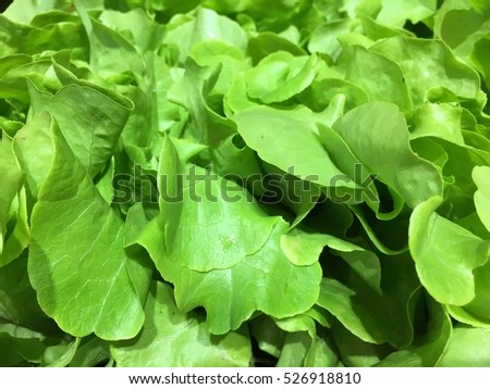 organic vegetables,raw vegetables background.Healthy eating.Hydroponics Vegetable ,the nutrition in the future.hydroponic Vegetables,Organic hydroponic vegetable good for health,Healthy food organics