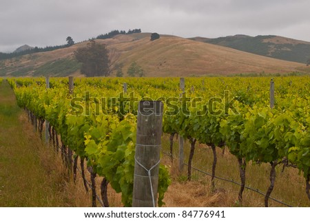 Organic vineyard with hills in the backdrop - stock photo