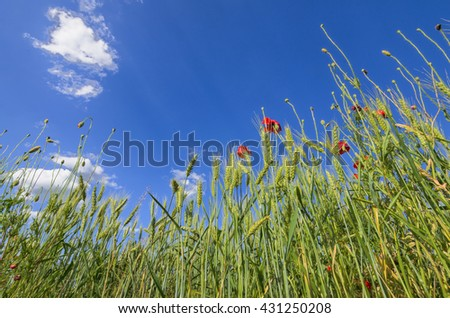 Organic young green wheat and poppy at cultivated wheat field with a blue sky in background - stock photo