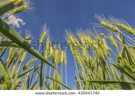 Organic young green wheat at cultivated wheat field with a blue sky in background - stock photo