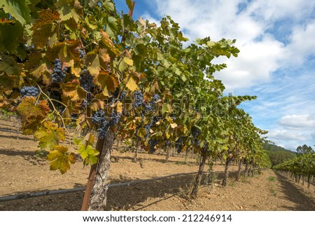 Organic Zinfandel wine grapes in California, ripe and ready to harvest.
