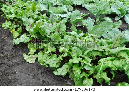 organically cultivated beetroot and cabbage in the vegetable garden  - stock photo