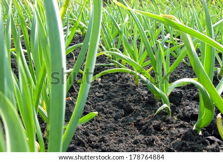 organically cultivated garlic plantation in the vegetable garden           - stock photo