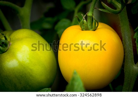 organically grown green and yellow tomatoes on the vine in a vegetable garden - stock photo