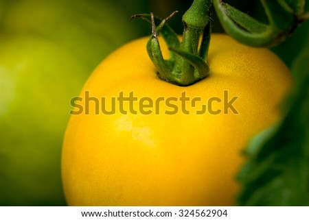 organically grown yellow tomato  in a vegetable garden - stock photo