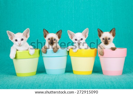 Oriental and Siamese kittens sitting inside pastel pots on blue background