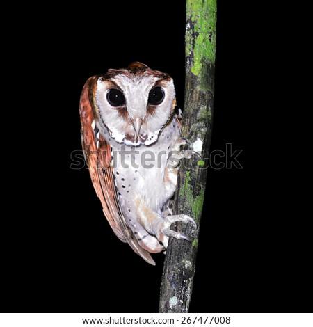 Oriental bay owl (Phodilus badius) on a branch, taken at night. - stock photo